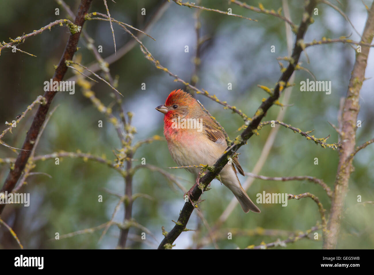 Common rosefinch /  scarlet rosefinch (Carpodacus erythrinus) male perched in tree - Stock Image