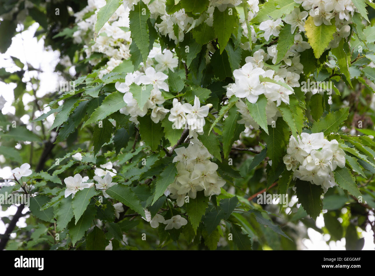 White July flowers of the New Zealand ribbon bark, Hoheria 'Ace of Spades' - Stock Image