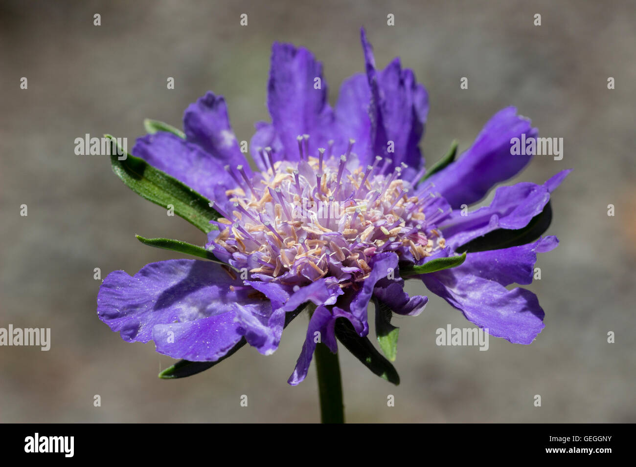 Large blue scabious flower of the hardy perennial, Scabiosa caucasica 'Fama Deep Blue' - Stock Image