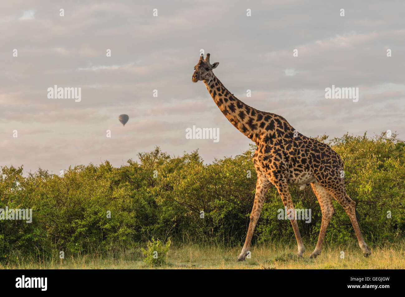 Giraffe walking over the savanna with bushes in background and an air-balloon is seen in the sky at sunrise, Masai Stock Photo