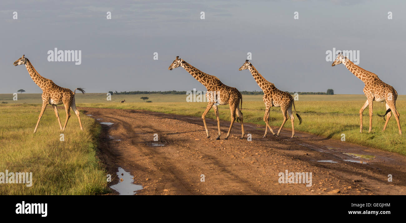 Four giraffes crossing a road on the savanna in Masai Mara, Kenya, Africa - Stock Image