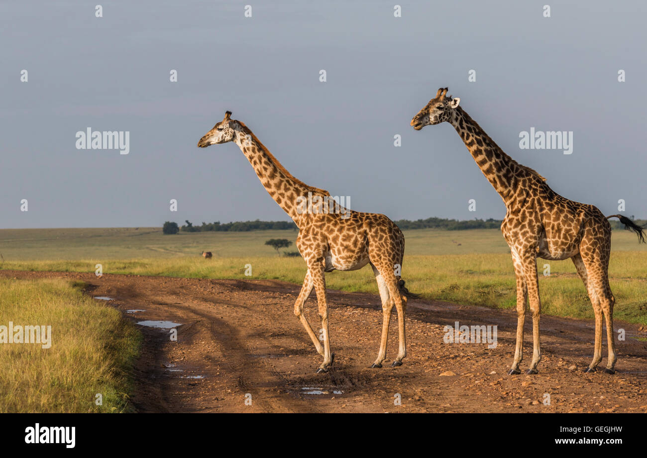 Two Giraffes in nice warm light on the savanna in Masai Mara, Kenya, Africa - Stock Image