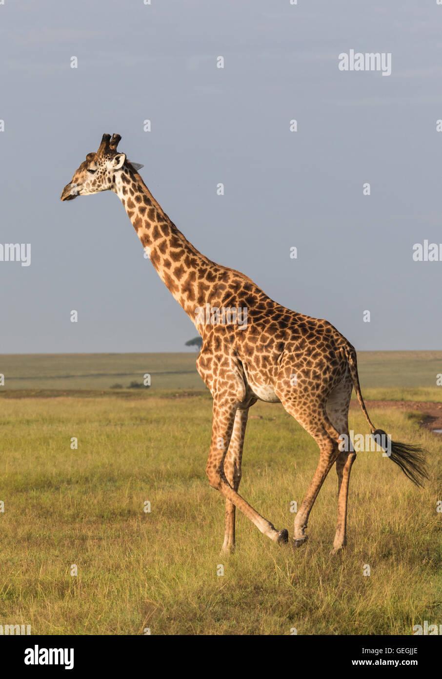 Giraffe in nice warm light walking on the savanna in Masai Mara, Kenya, Africa Stock Photo