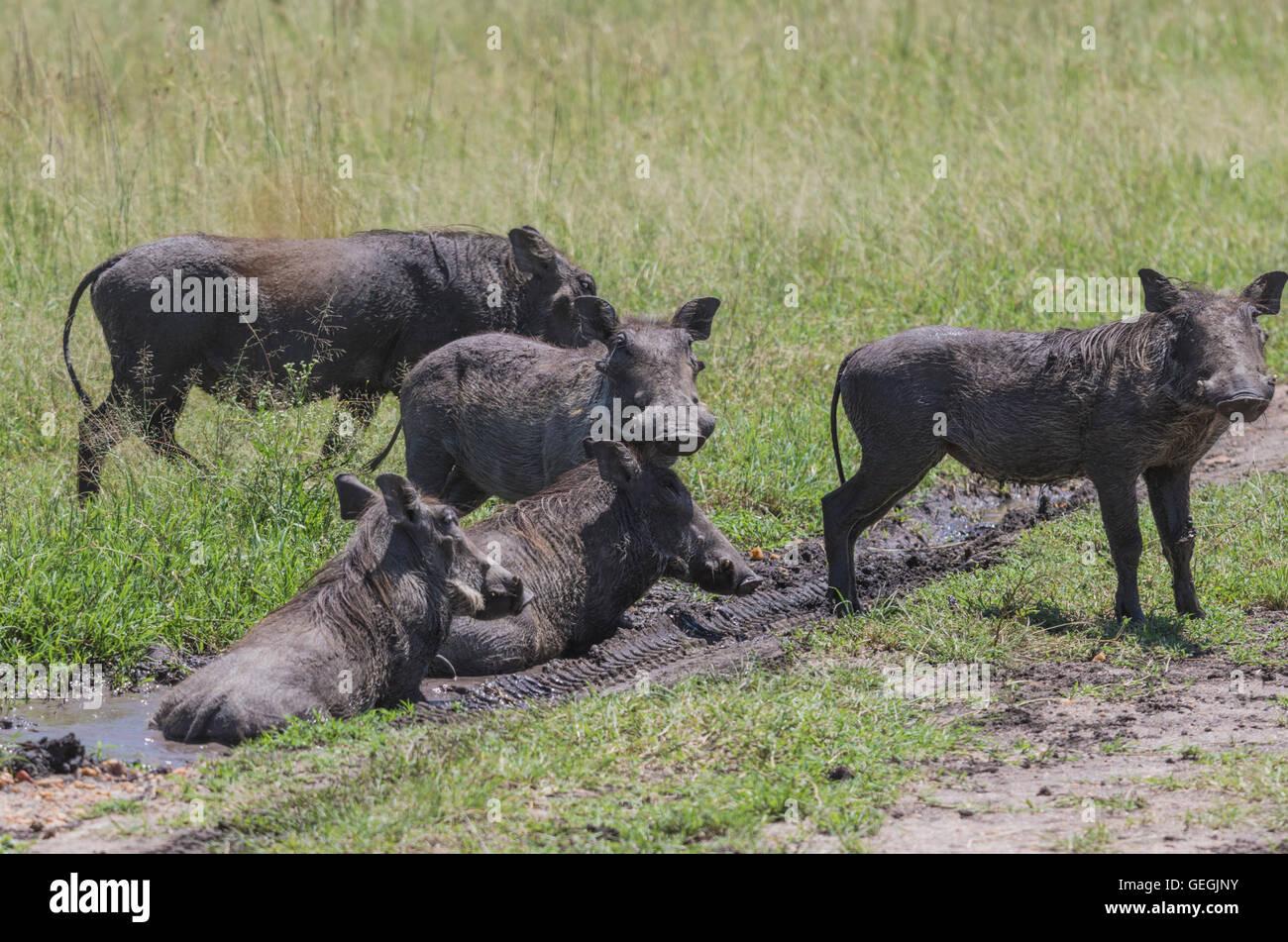 Five wart hogs taking a mud bath on the savanna in Masai Mara, Kenya, Africa - Stock Image