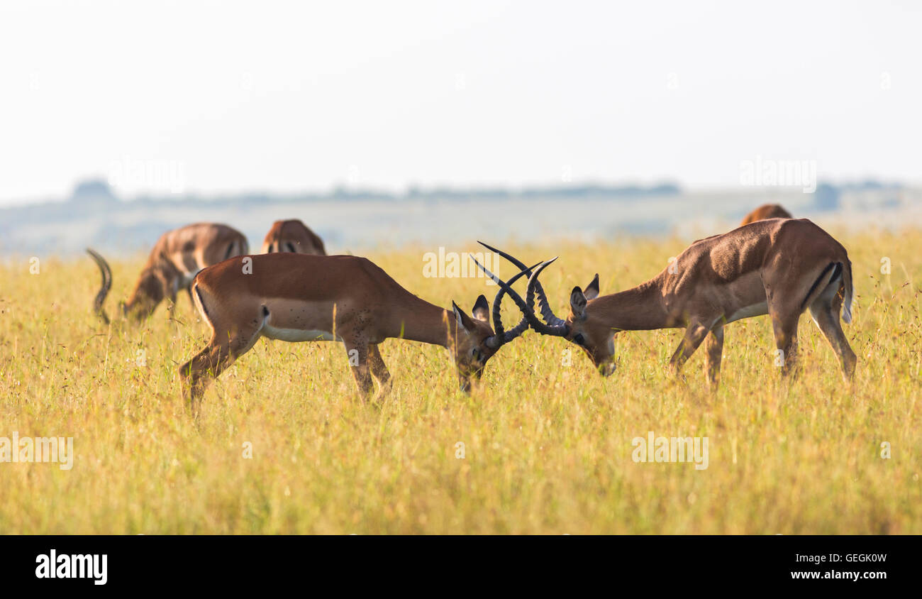 Two Impalas fighting with heads bent down and antler crushing together on the savanna in Masai Mara, Kenya, Africa - Stock Image