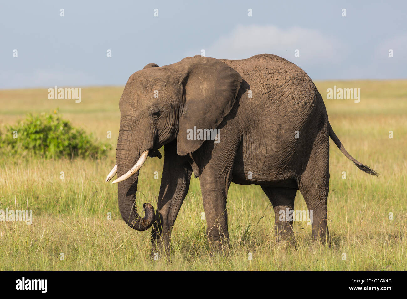 Elephant on the savanna in high grass Masai Mara, Kenya, Africa - Stock Image