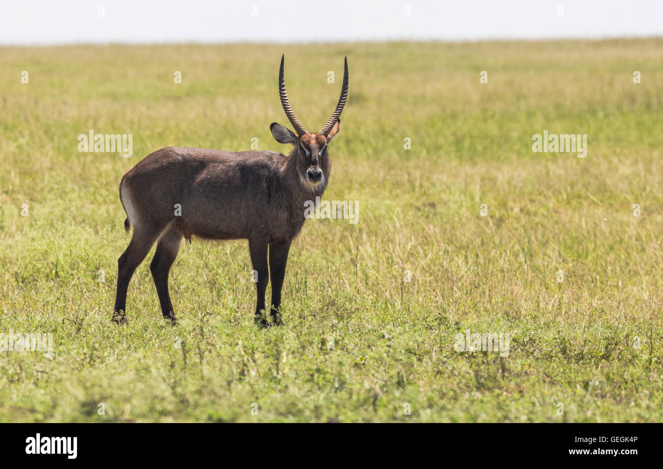 Waterbuck standing on the savanna in Masai Mara, Kenya, Africa - Stock Image