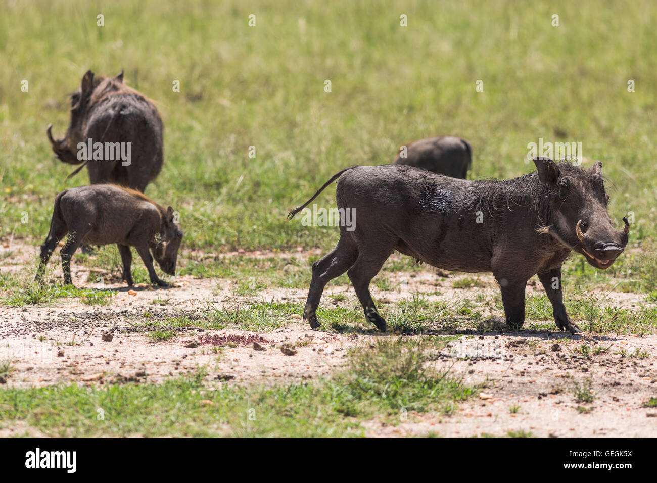 Four wart hogs on the savanna in Masai Mara, Kenya, Africa - Stock Image