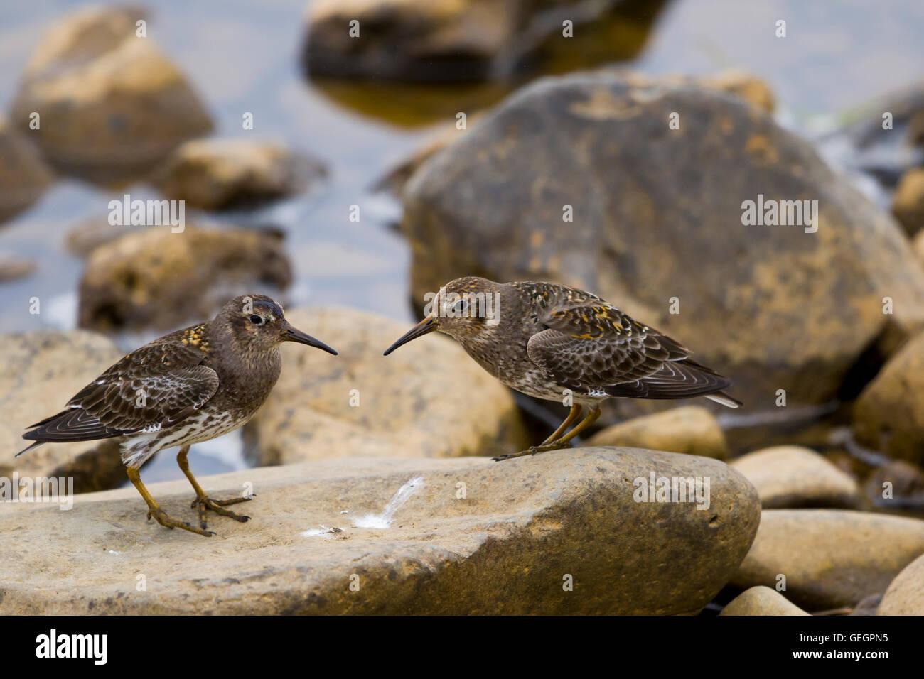 Purple Sandpiper - interaction between two individuals Calidris maritima Merakkasletta Peninsular Iceland BI029096 - Stock Image