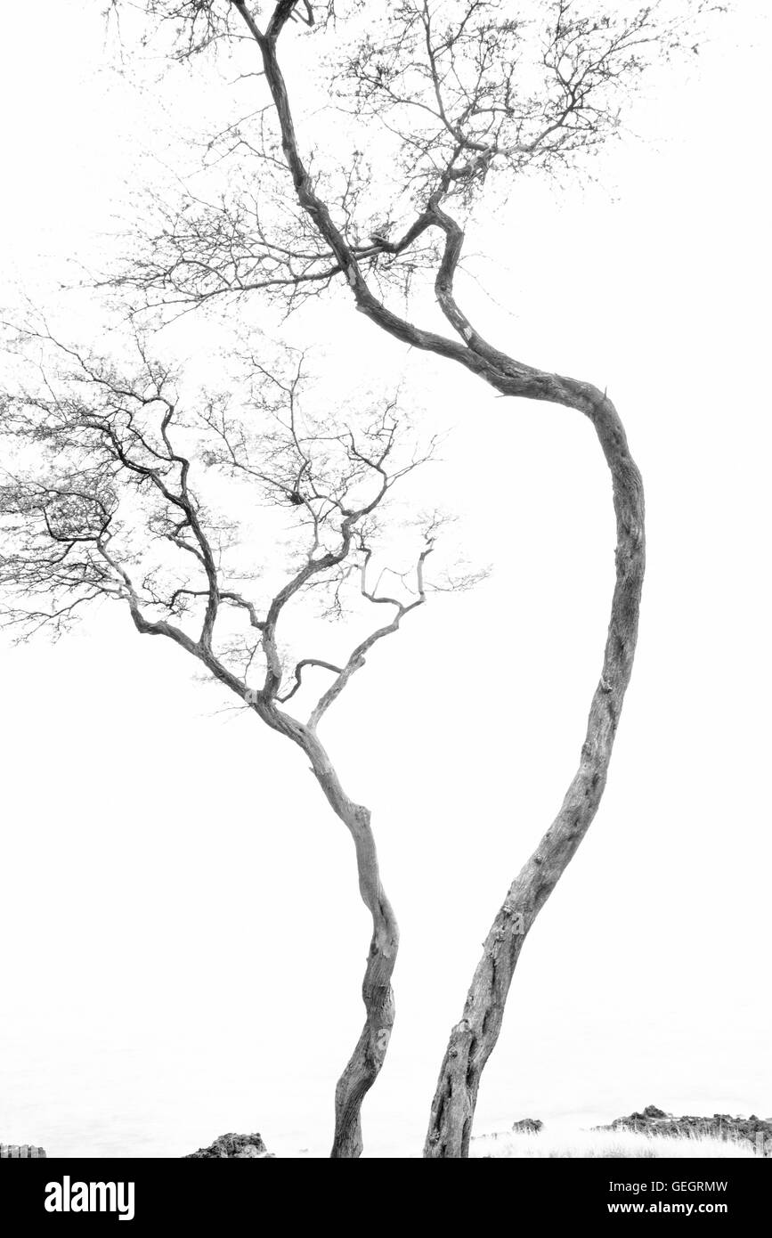 Tree silhouete. Hawaii Island - Stock Image