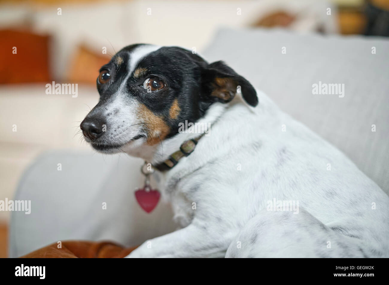 Small Rat Terrier dog - Stock Image