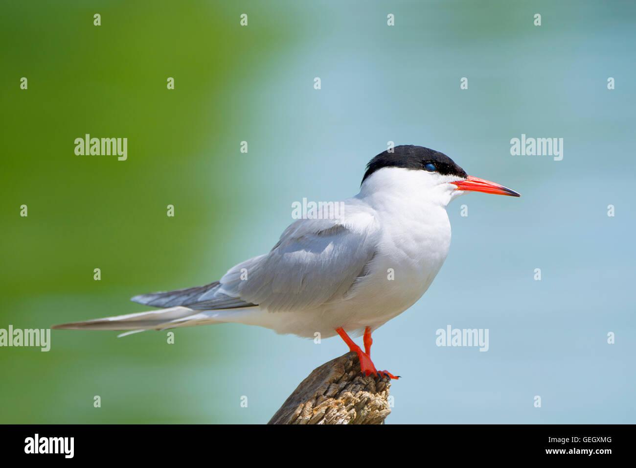 Common Tern,Sterna Hirundo, Seabird - Stock Image