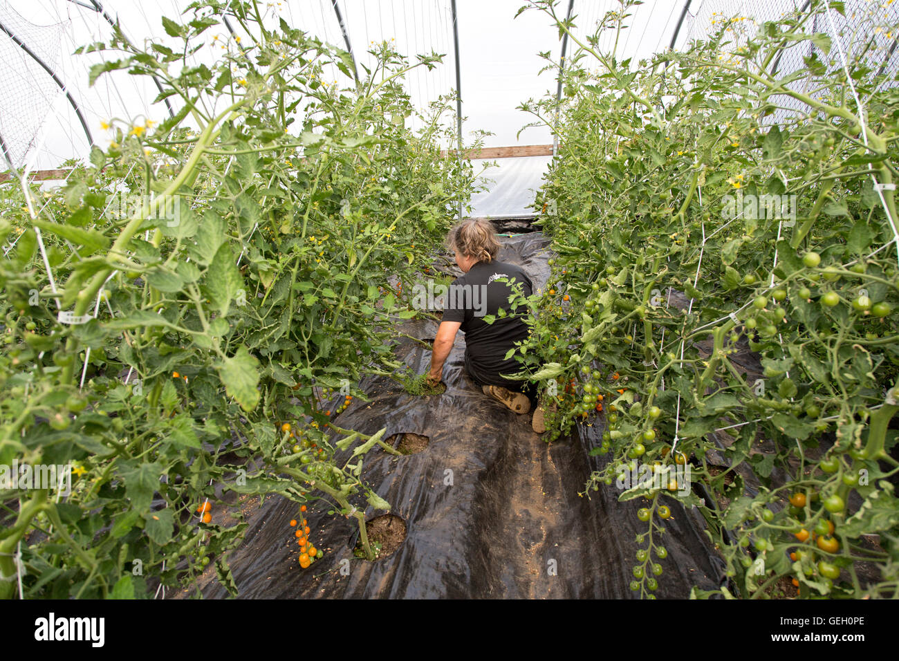 Female farmer, weeding tomato plants in tunnel. - Stock Image