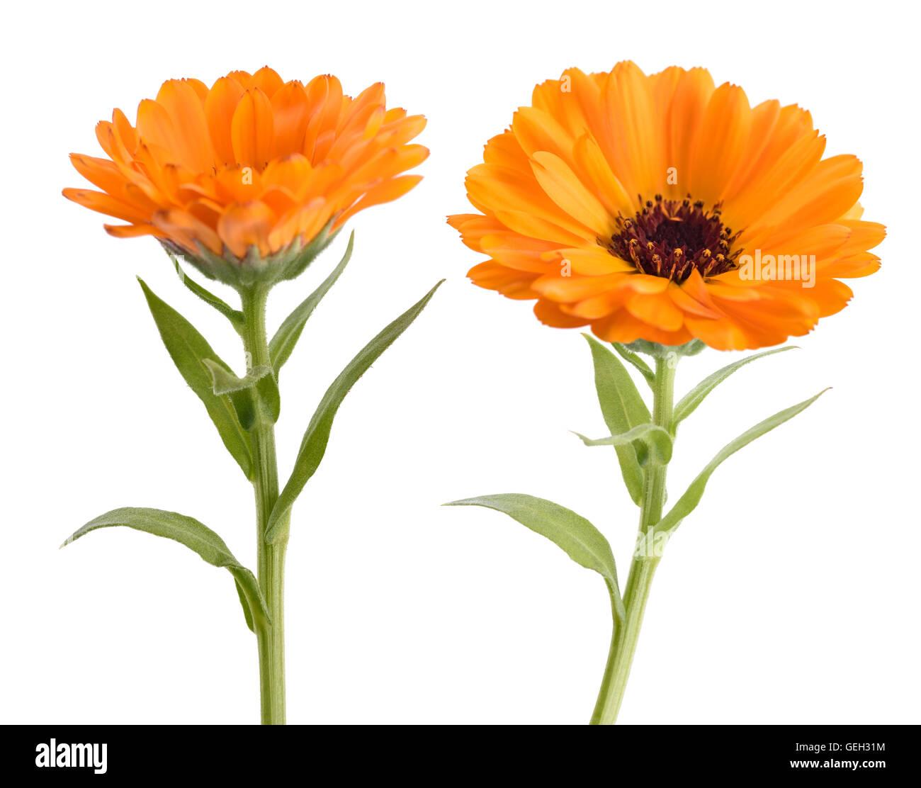 Calendula marigold flowers with leaves isolated on white stock marigold flowers with leaves isolated on white mightylinksfo