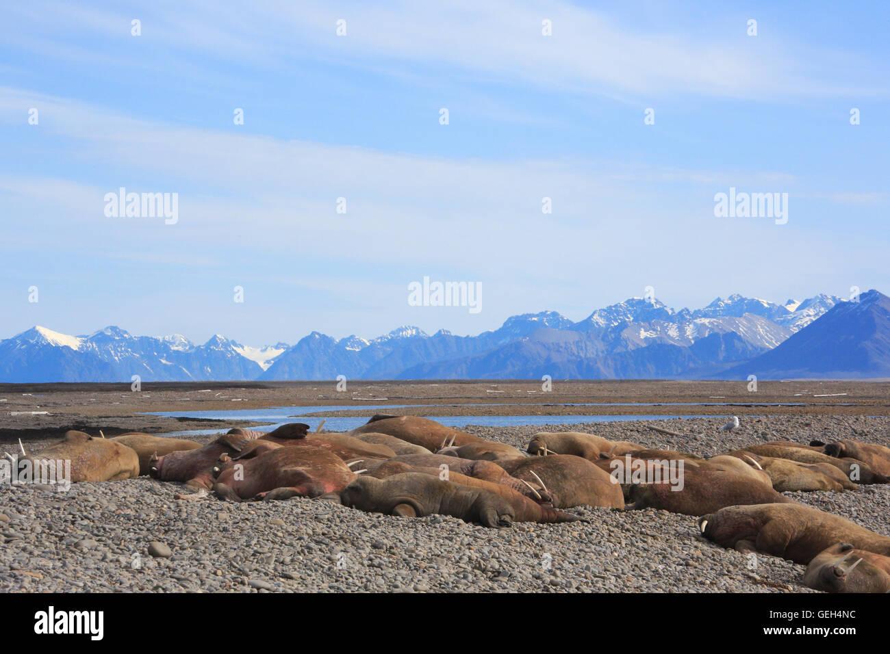 Group of walrus hauled out at Richard Laguna on Prince Karls Island Svalbard - Stock Image