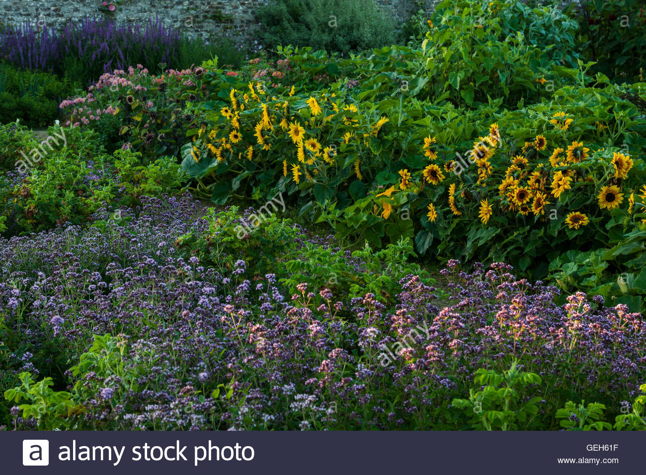 cut flower borders - Stock Image
