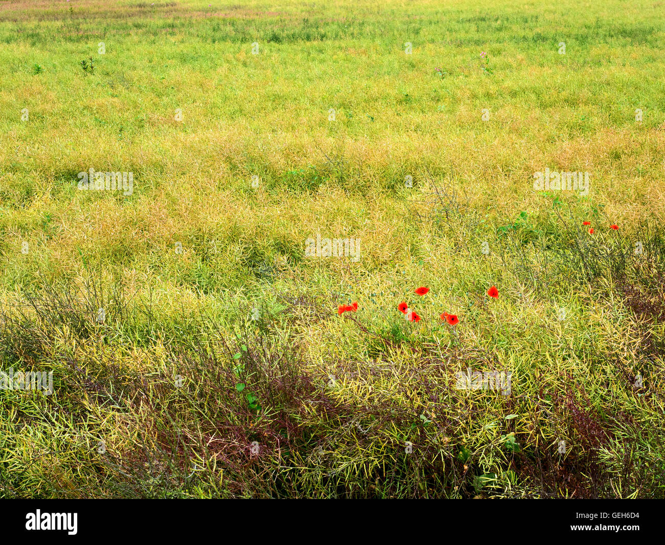 Poppies amongst a Crop in a Field at Aldborough near Boroughbridge North Yorkshire England - Stock Image