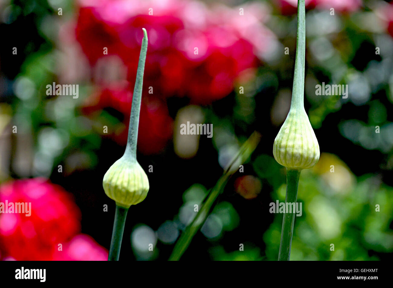 two onion cupolas with seeds - Stock Image