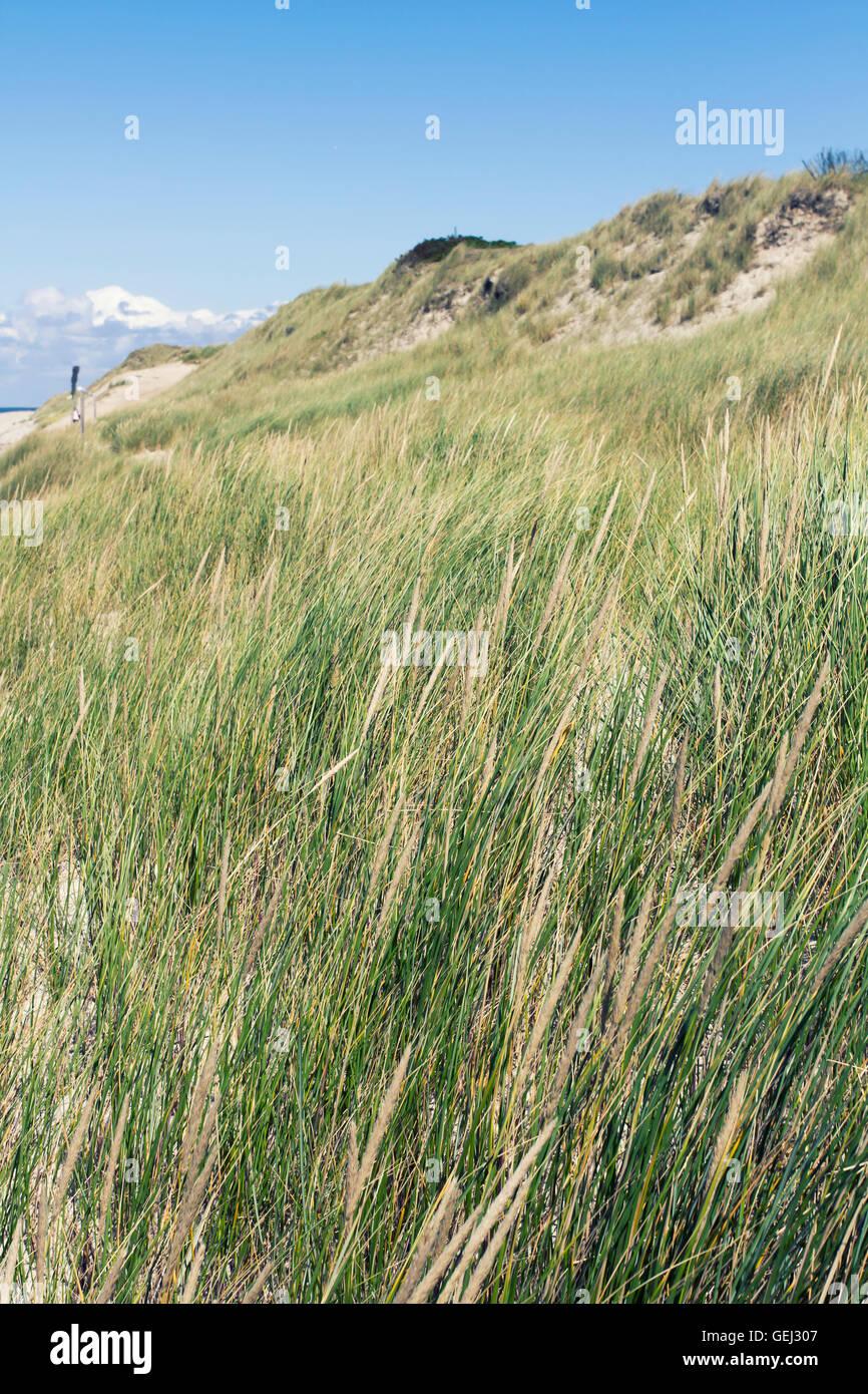 Dune grasses at the seashore - Stock Image