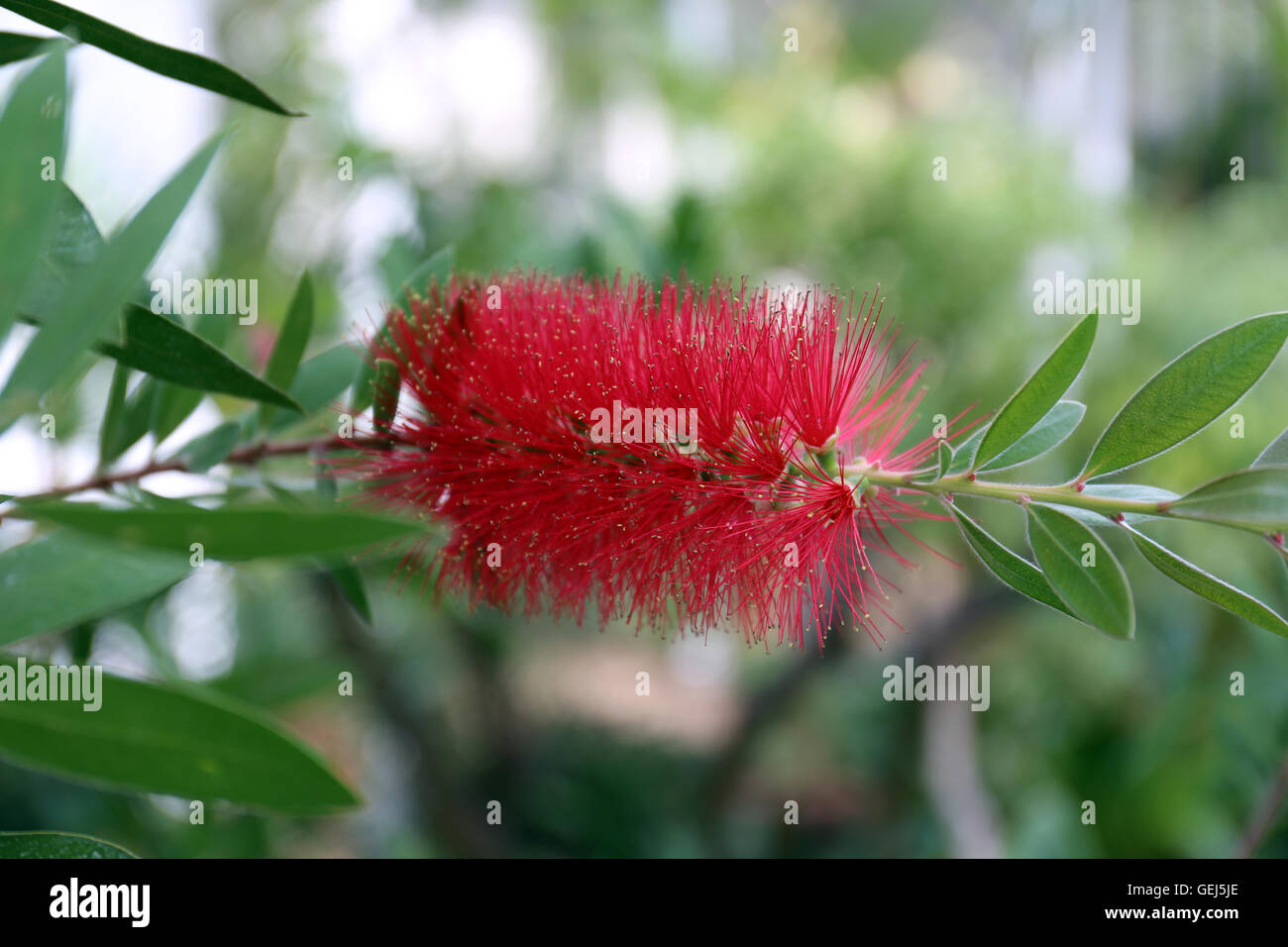 Callistemon Myrtaceae,bottle brush - Stock Image