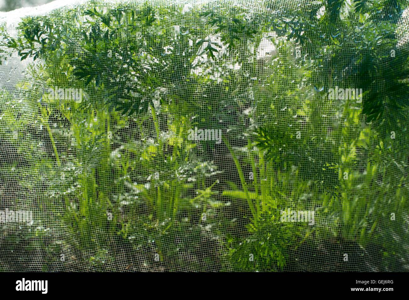 Carrots under insect mesh. - Stock Image