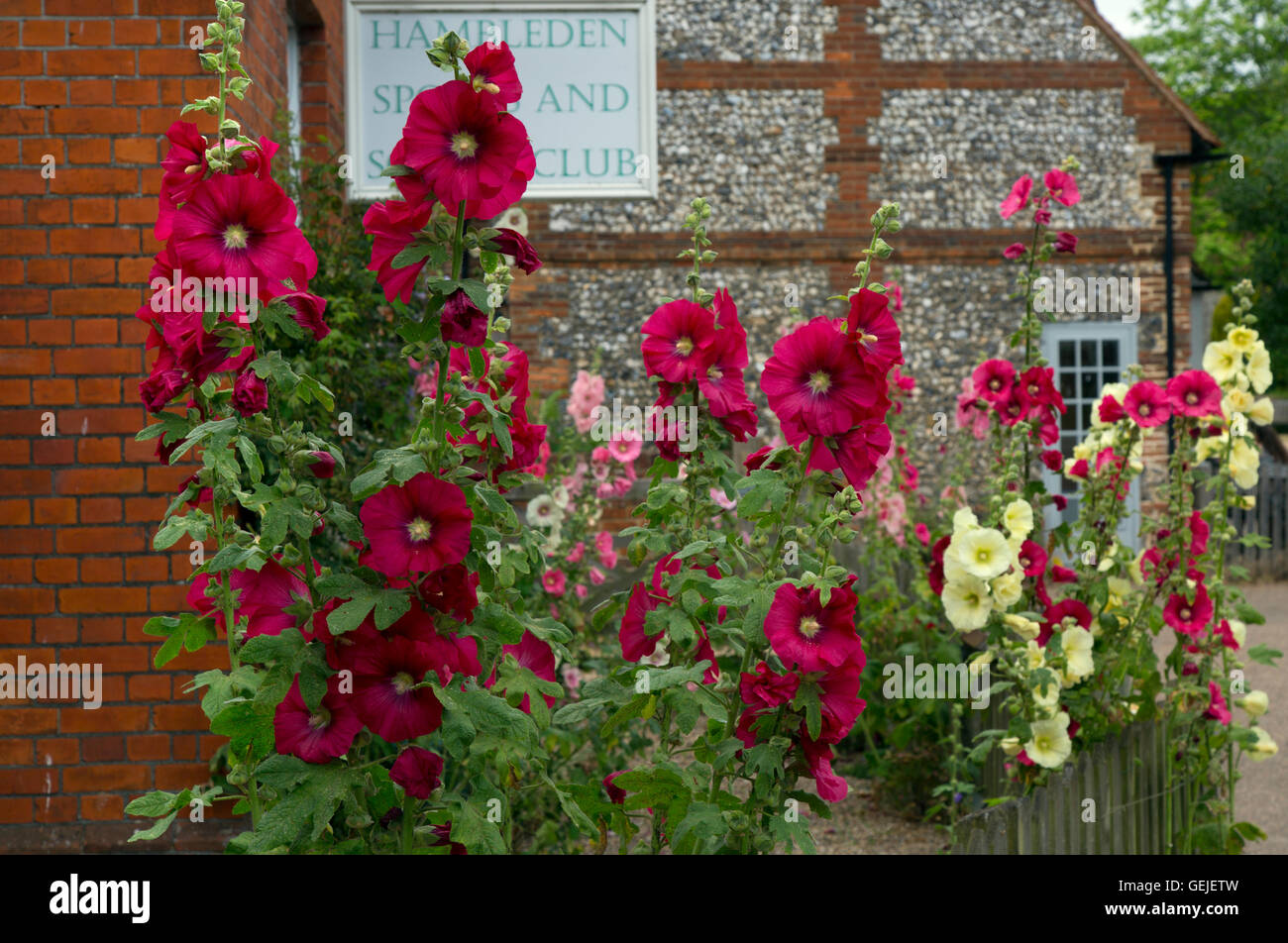 Hollyhocks flowers in Hambleden Village Buckinghamshire UK Late July - Stock Image
