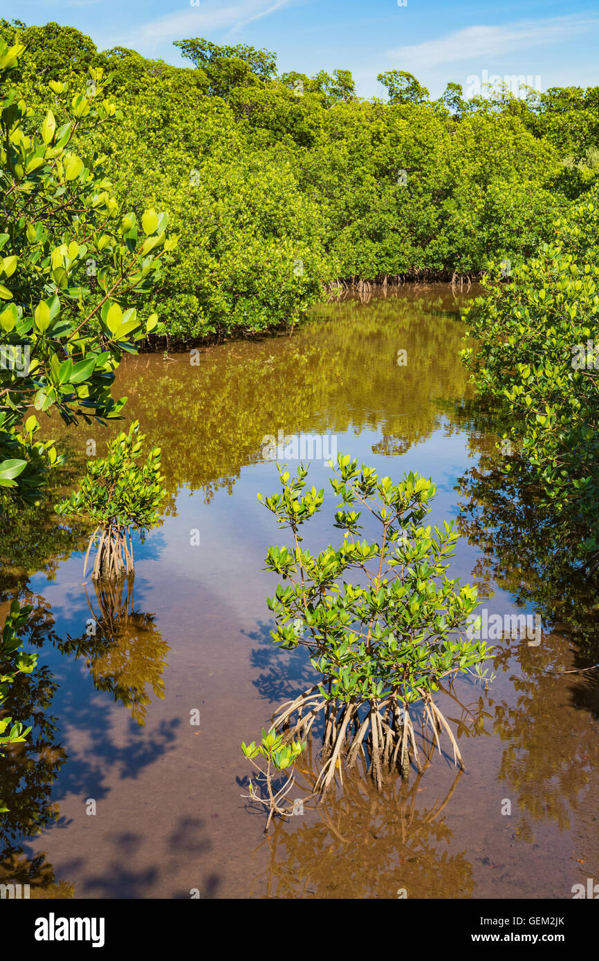 Florida Keys, Long Key State Park, Golden Orb Nature Trail, view from boardwalk through mangrove forest - Stock Image