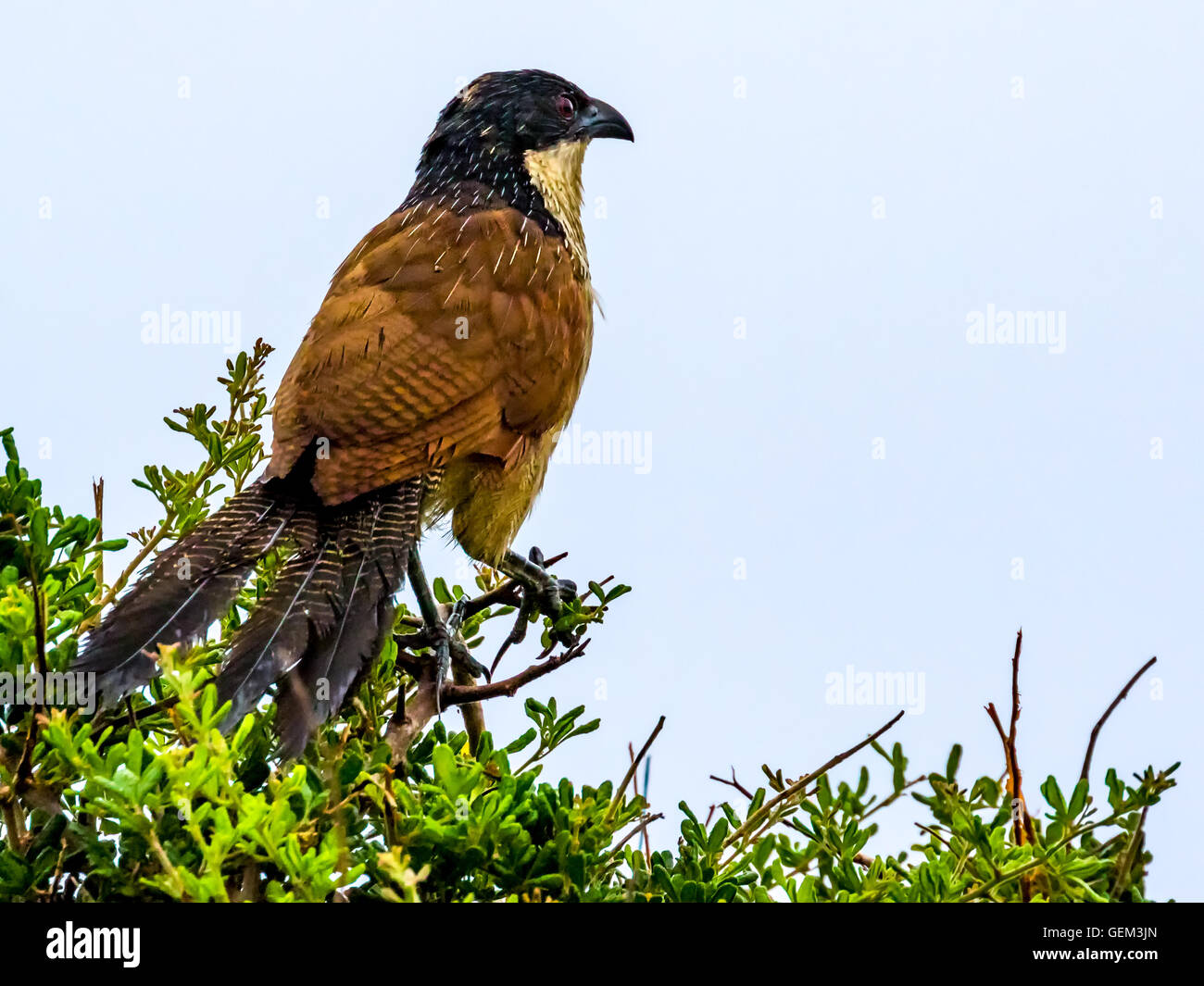 Burchell's Coucal Centropus burchelli) - Stock Image