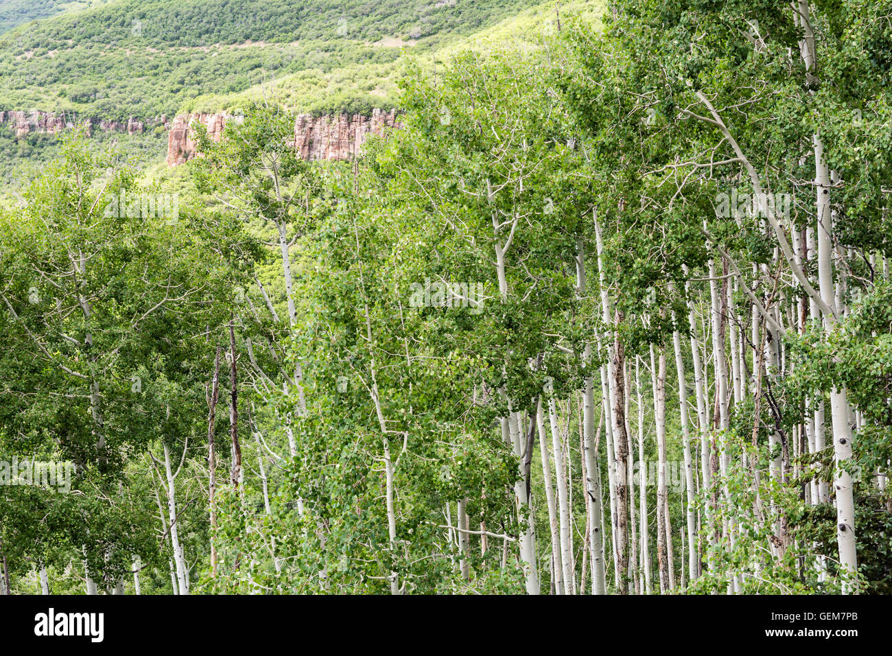 A stand of quaking aspen trees below a red rock cliff in the alpine La Sal Mountains of Utah - Stock Image