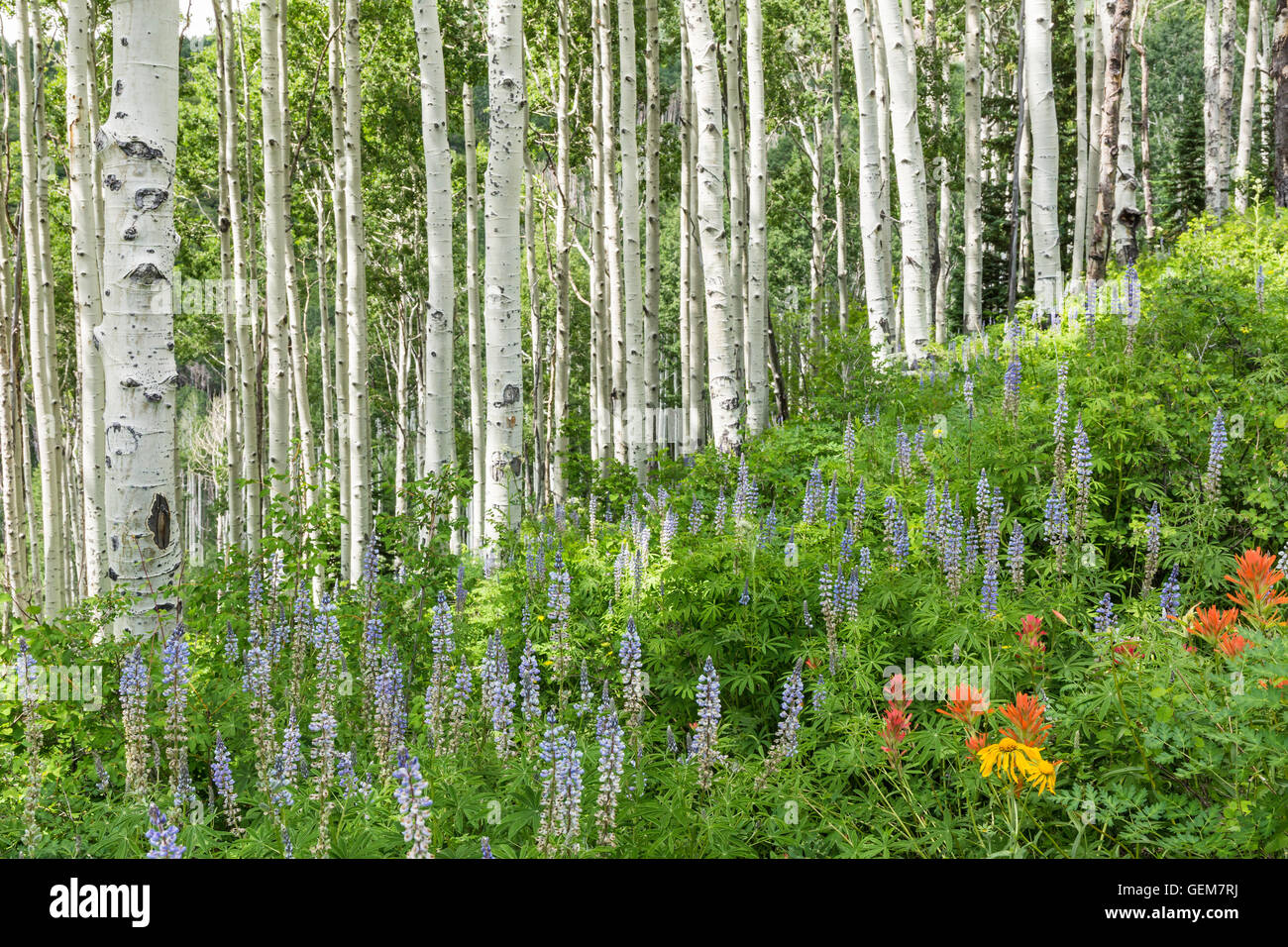 Sunlight sidelights aspen trees on a slope with Lupine and other wildflowers in the alpine La Sal Mountains of Utah - Stock Image