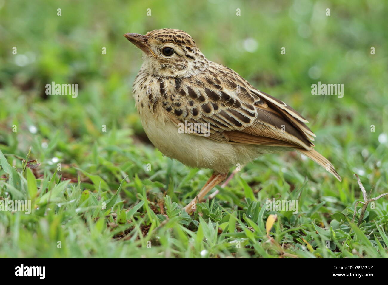 The Indochinese bush lark (Mirafra erythrocephala) is a species of lark in the Alaudidae family. Stock Photo