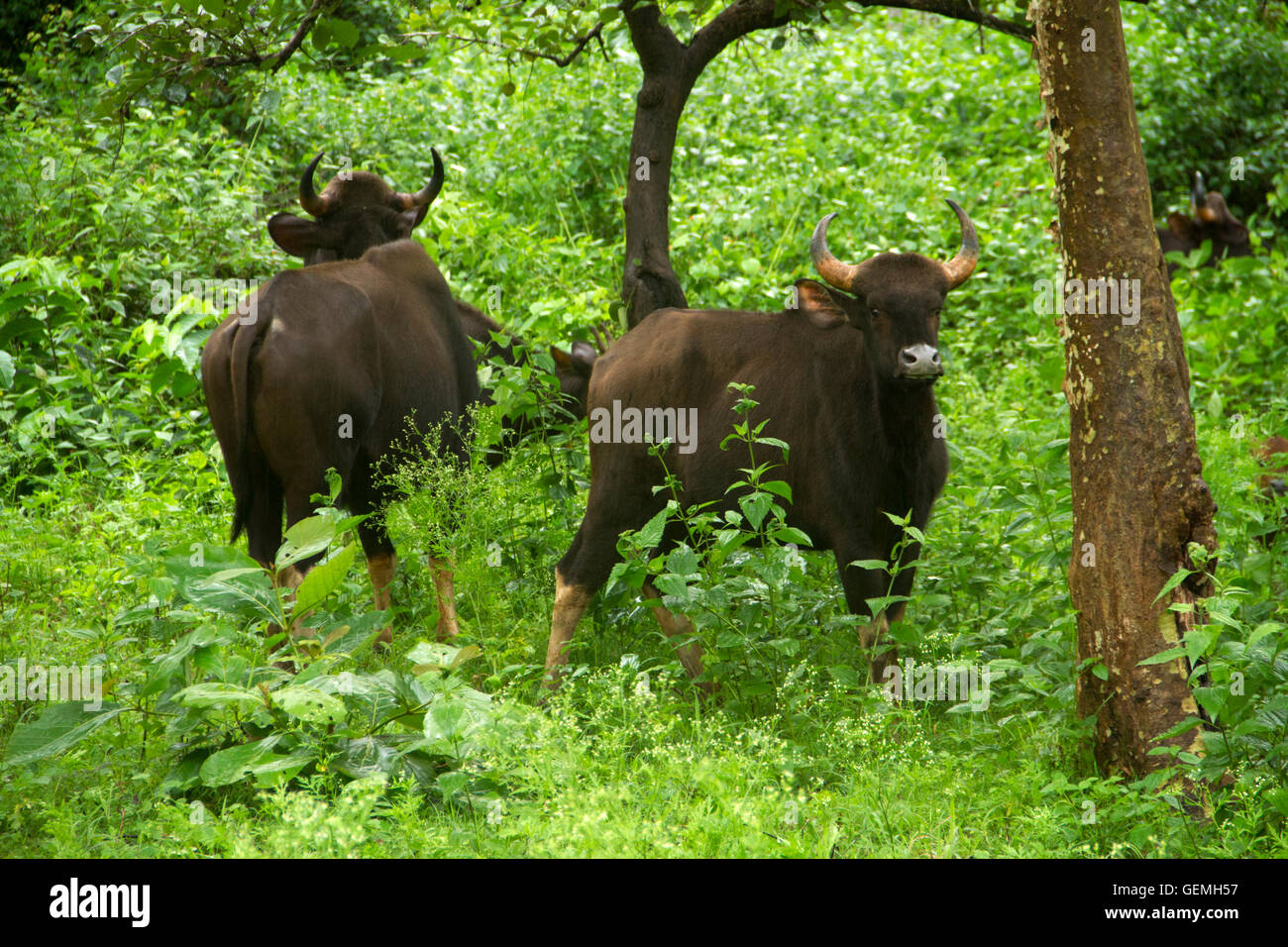 The Gaur family or the Indian Bison in lush green forest Stock Photo