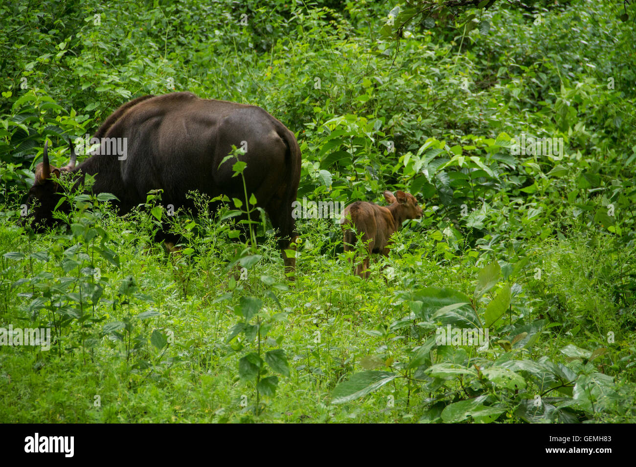 The Gaur family, mother and calf in lush green forest Stock Photo