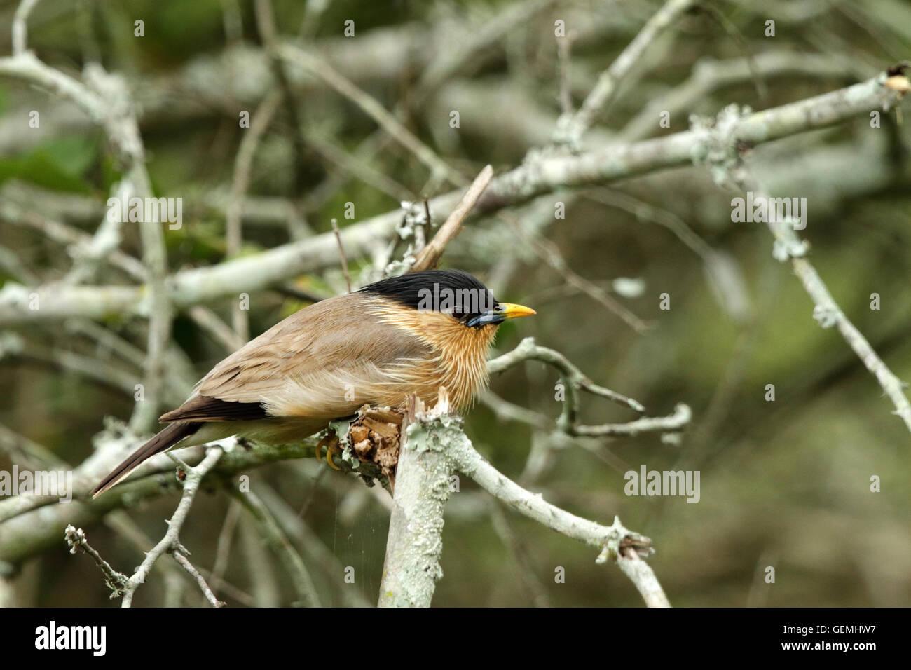 Perching Brahminy Starling Birds in India Stock Photo