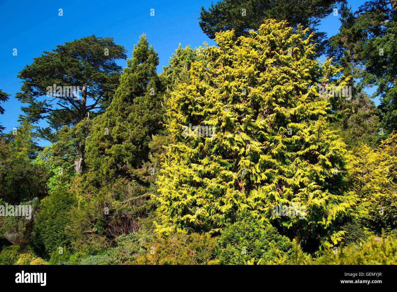 Chamaecyparis obtusa (Crippsii), San Francisco Botanical Garden, Golden Gate Park, San Francisco, California - Stock Image