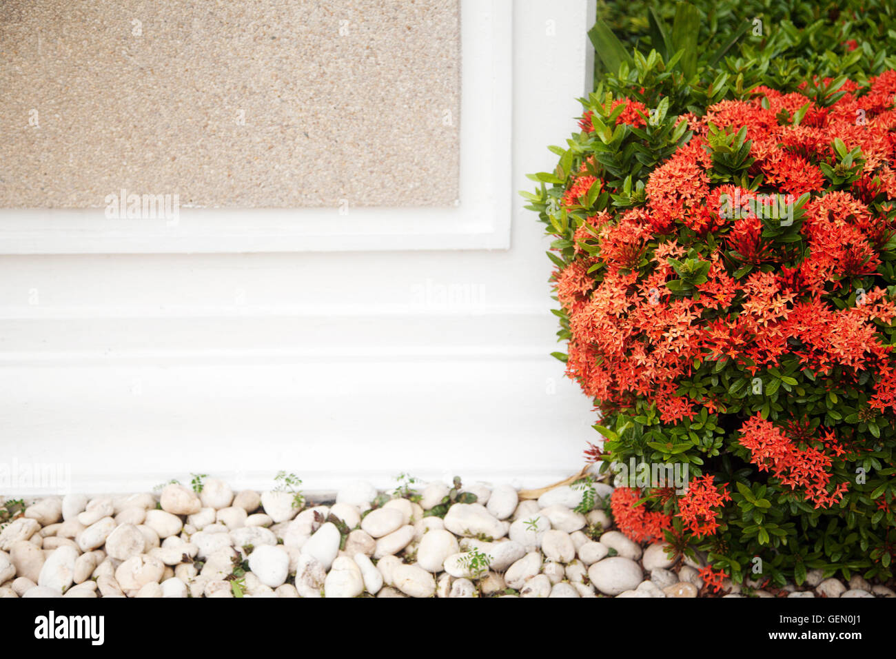 Red blossoming bush next to a white wall with copy space. Foliage ...