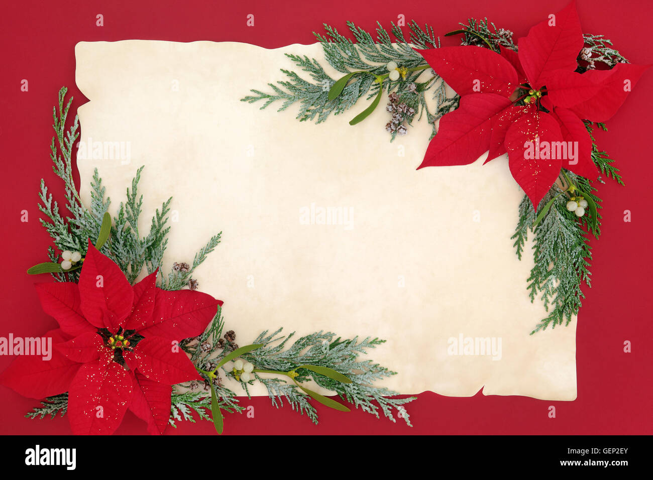 Poinsettia flower background  border with mistletoe and cedar cypress snow covered leaf sprigs on old parchment Stock Photo
