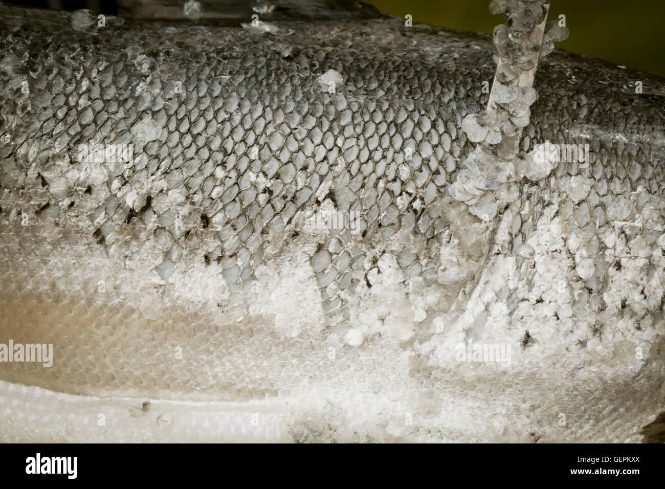 Close up of a fresh fish, scales. - Stock Image