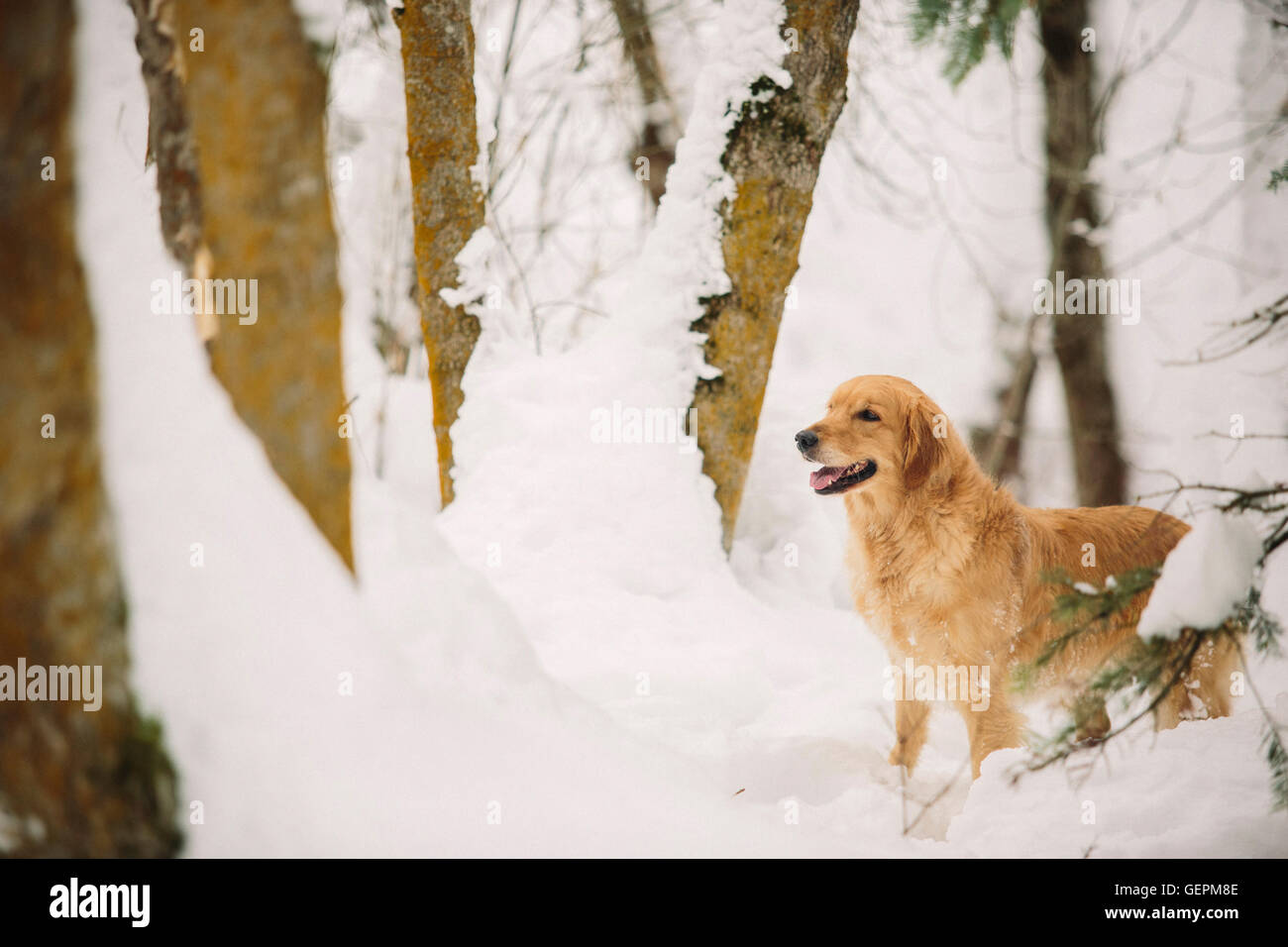 A golden retriever dog in a snowy woodland. - Stock Image
