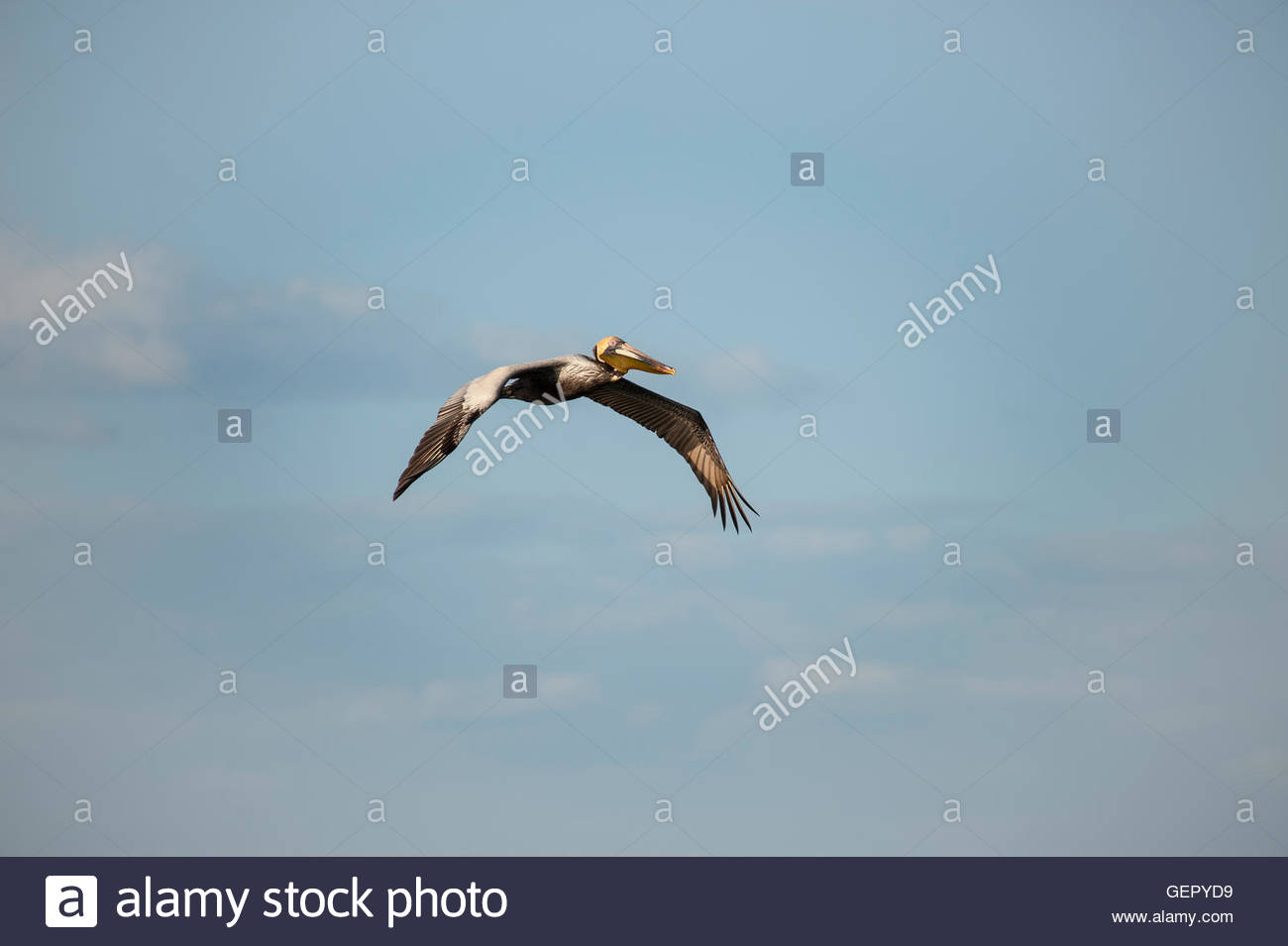Brown Pelican flying left to right with wings down - Stock Image
