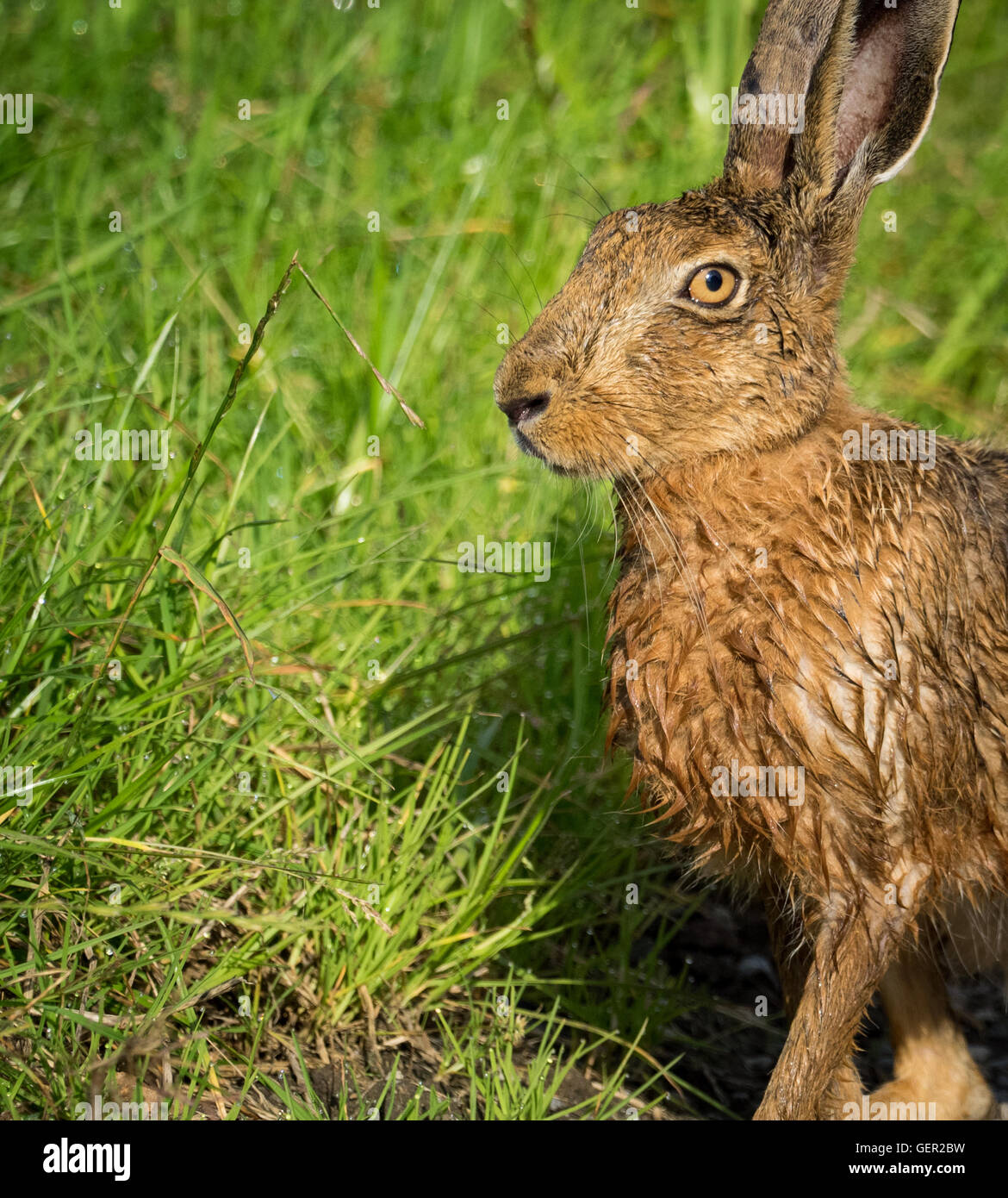 Brown Hare on path in grass wet from bathing in puddle (Lepus europaeus) - Stock Image