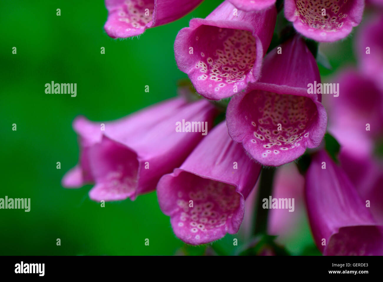 Roter Fingerhut, Digitalis purpurea - Stock Image