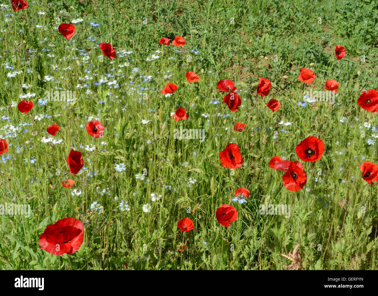 French meadow flowers grasses poppies green red flowers floral stock french meadow flowers grasses poppies green red flowers floral pattern floral background mightylinksfo
