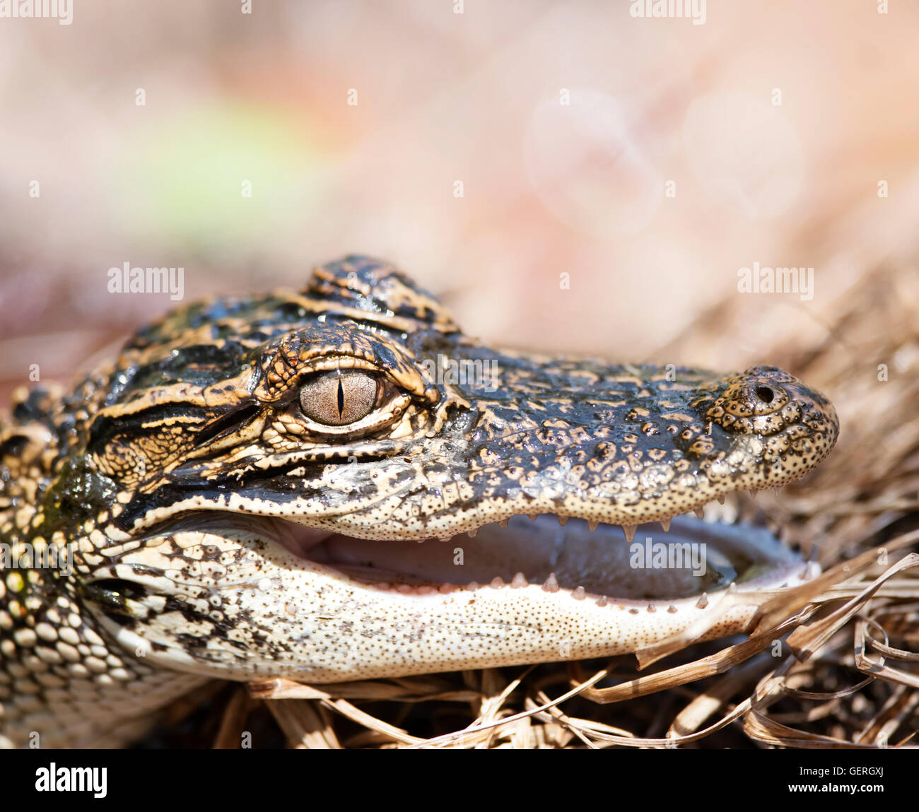 Young American Alligator , close up - Stock Image