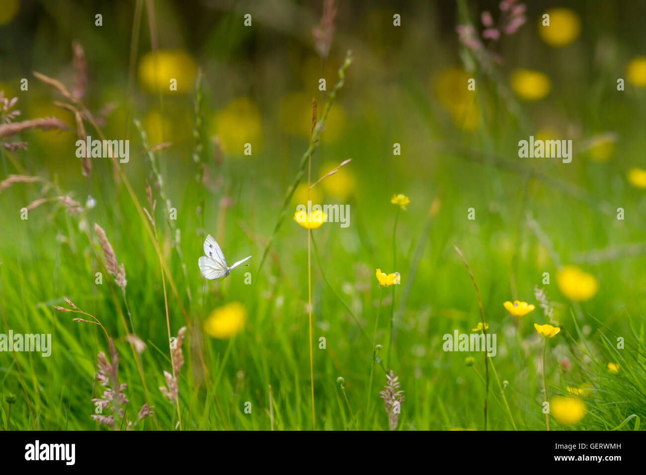 Female green-veined white butterfly (summer brood) flying through a meadow, Yorkshire, UK - Stock Image