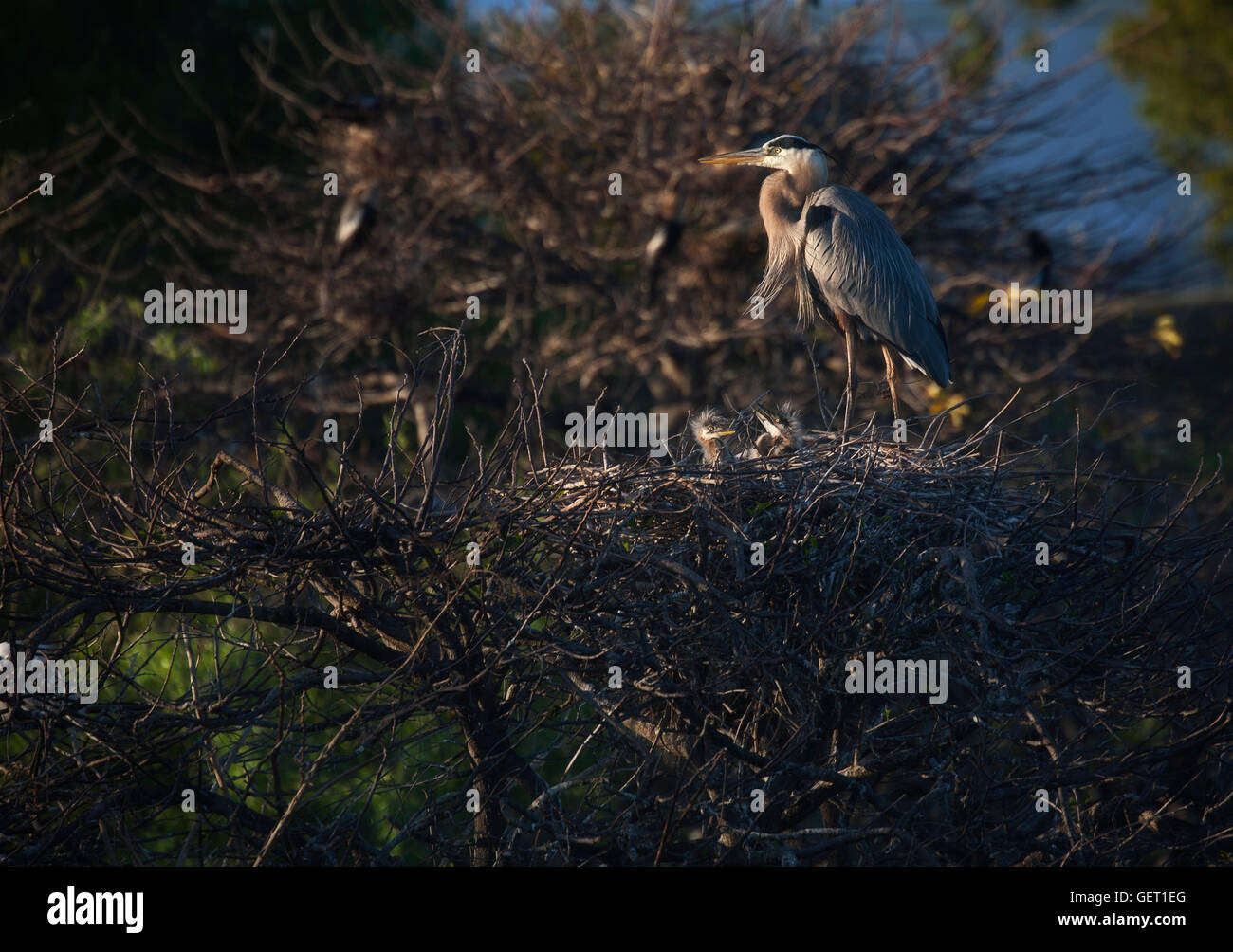 Great Blue Heron parent stands by its chicks after feeding - a tender yet moody scene spotlighted by the setting - Stock Image