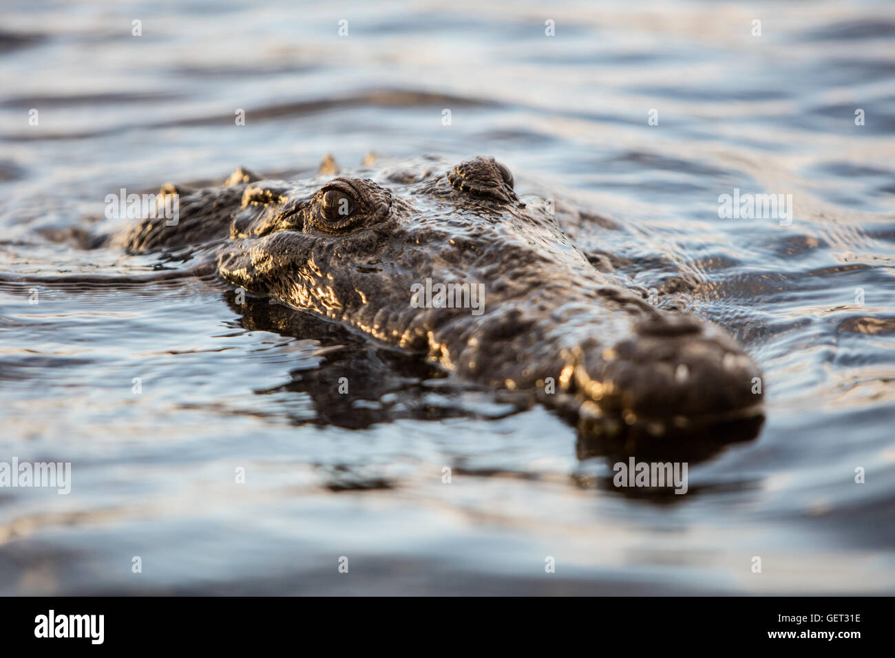 An American crocodile surfaces in a remote Caribbean lagoon. This large and dangerous reptile lives from Florida - Stock Image