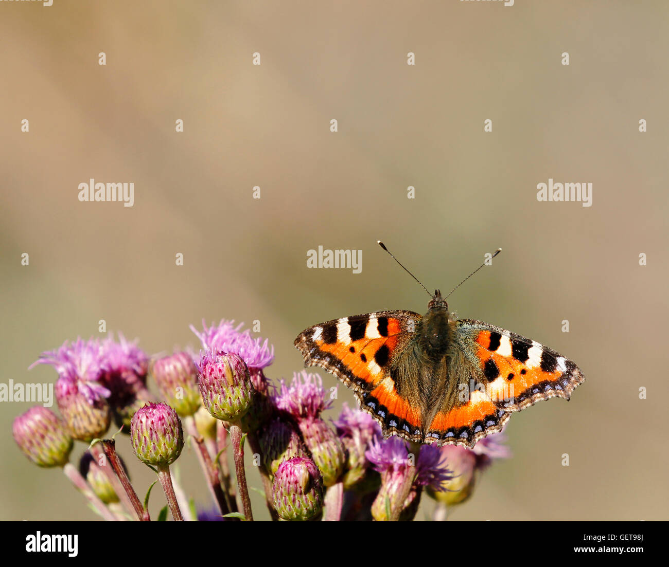 Small tortoiseshell feeding on creeping thistle in Finland. - Stock Image