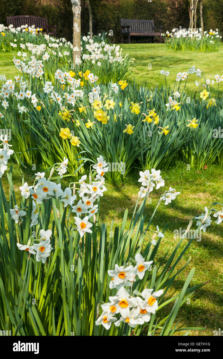 Daffodils in the Spring Garden at the Bowood Estate in Wiltshire. Stock Photo