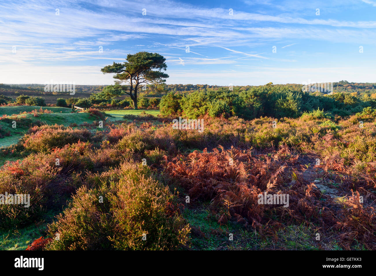 A view of a single pine tree at Bratley View in the New Forest. Stock Photo